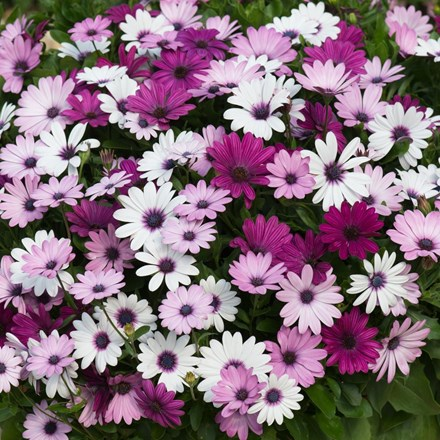 Osteospermum Akila Berries & Cream Mixed (Akila Series)