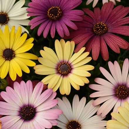 Osteospermum Akila Grand Canyon Mixed (Akila Series)