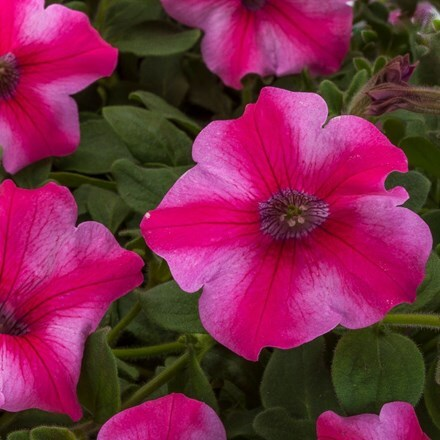 Petunia Aurora Star Rose