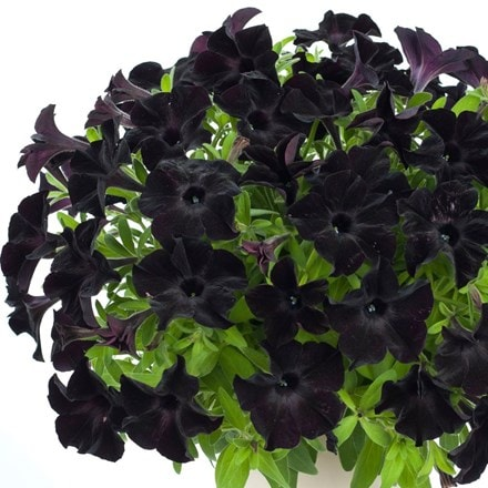 Petunia Select Black Ray