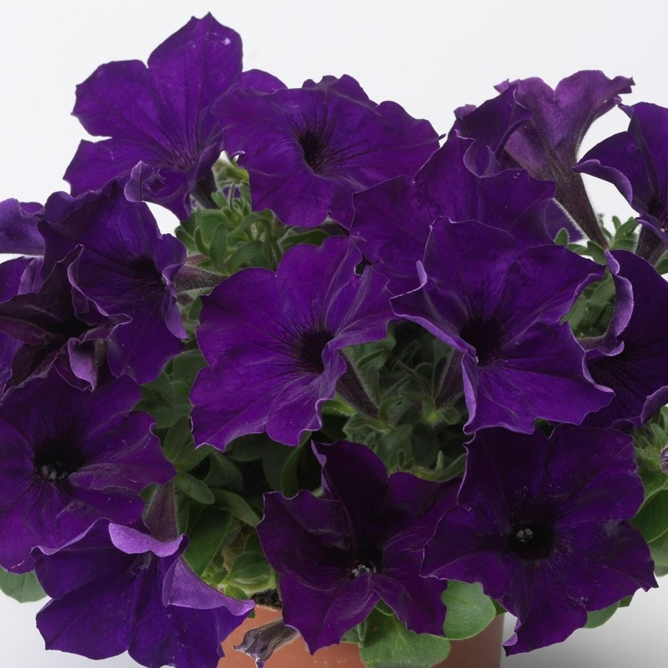 13cm pot grown bedding - delivered direct by a British nursery