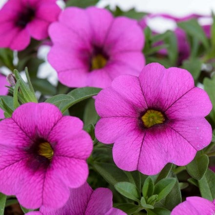 Calibrachoa Cabrio Pink with Dark Eye
