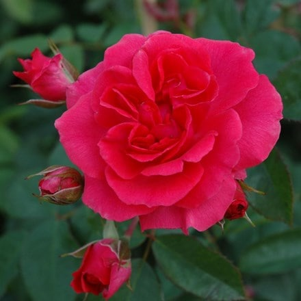 Rosa Wymondham Abbey ('Beadevil')