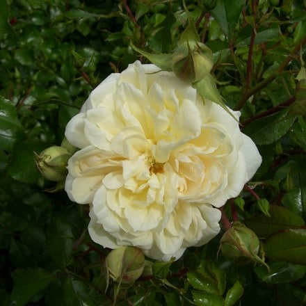 Rosa The Queen's Jubilee ('Beajubilee')