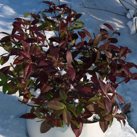 Trachelospermum jasminoides Winter Ruby ('Trared') (PBR)
