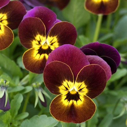 Viola Ruby & Gold F1 (Vibrante Series)