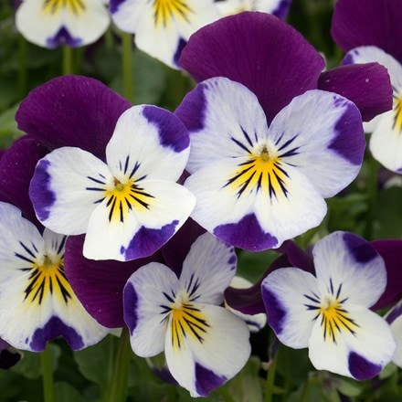 Viola White Jump Up F1 (Vibrante Series)
