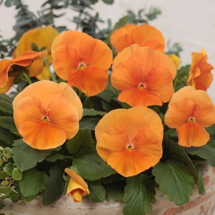 pansy Deep Orange F1 (Premier Series)