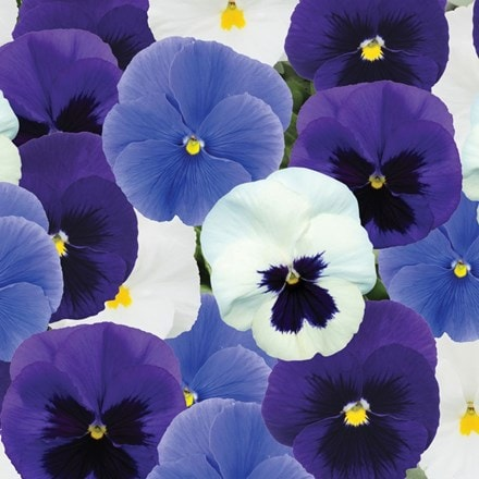 pansy Cool Blue Mix F1 (Premier Series)