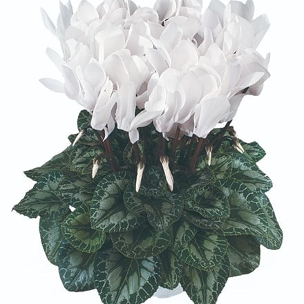 Cyclamen Success® Pure White (Latina Series)