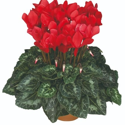 Cyclamen Success® Bright Red (Latina Series)