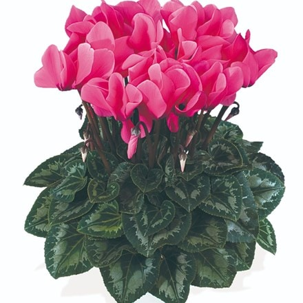 Cyclamen Success® Rose (Latina Series)