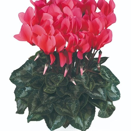 Cyclamen Success® Salmon (Latina Series)