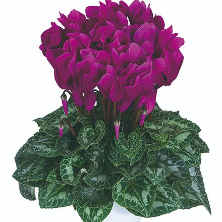 Cyclamen Purple (Latina Series)