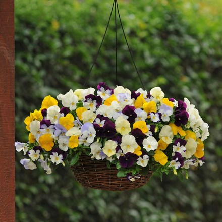 Pansy Cool Wave - Easyplanter for hanging baskets