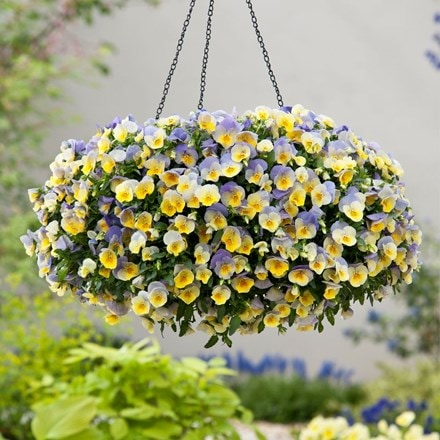 Blueberry Swirl - Easyplanter for hanging baskets