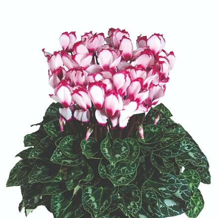 Cyclamen Victoria 50 Rose with Eye (Latinia Series)