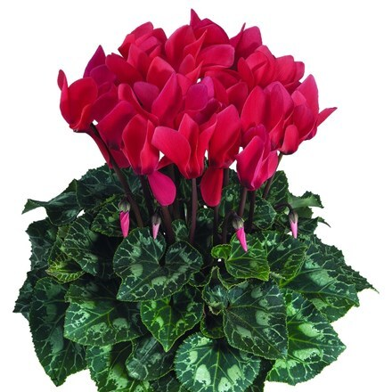 Cyclamen Success® Deep Salmon (Latinia Series)