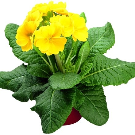 Polyanthus Supernova Yellow (Supernova Series)