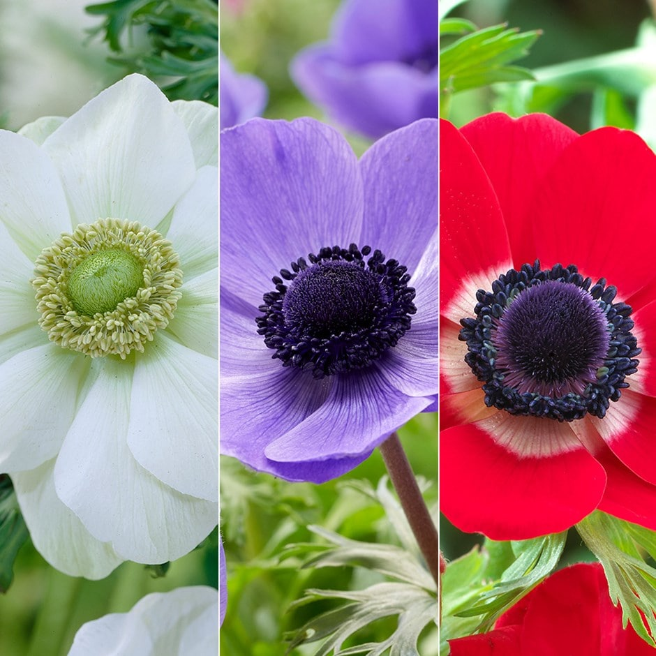 Anemone red, white, blue collection - 120+60 Free bulbs