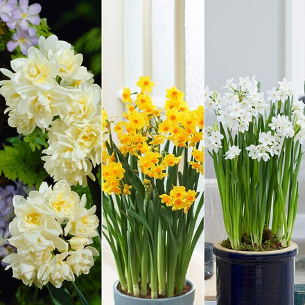 Fragrant indoor daffodil collection