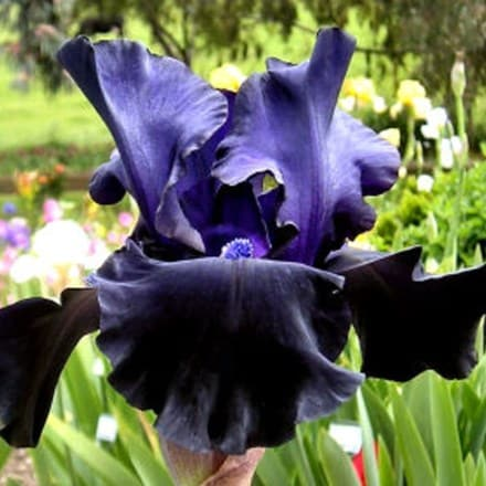 Iris Black Dragon