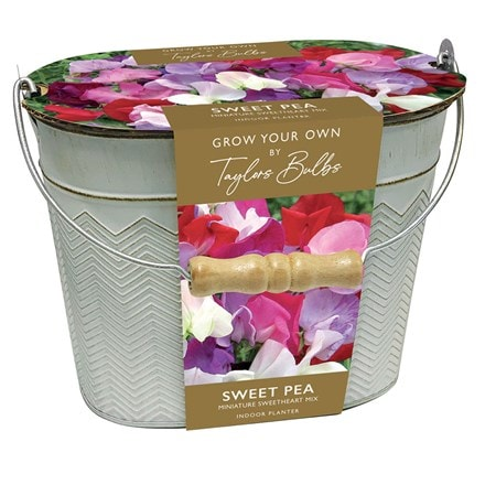 Lathyrus Sweet peas in a gift bucket