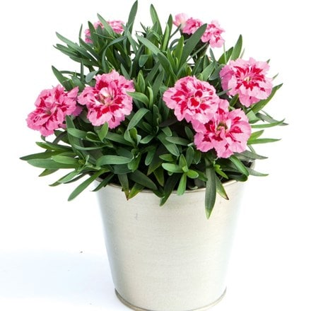 Dianthus Oscar Pink and Purple ('Kledp10111') (PBR)