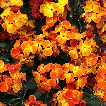 Erysimum ( wallflower ) Sugar Rush Orange