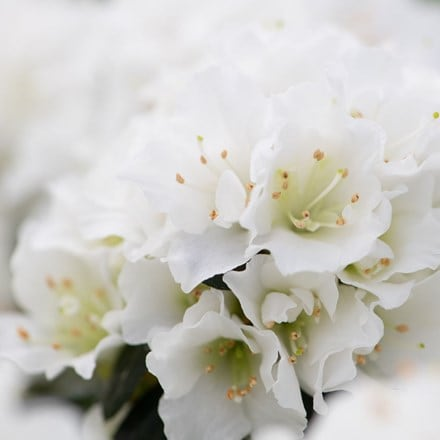 Rhododendron White (PBR) (Evergreen Series)