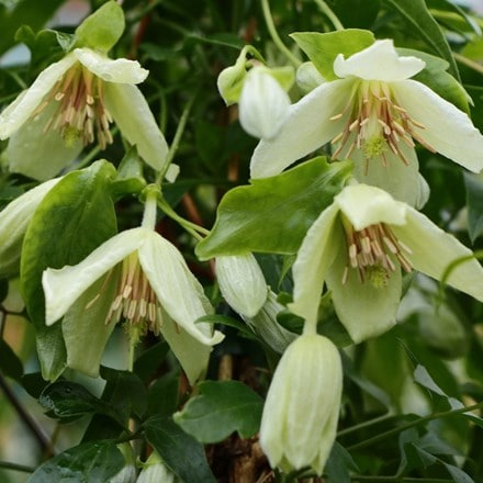 Clematis Christmas Surprise