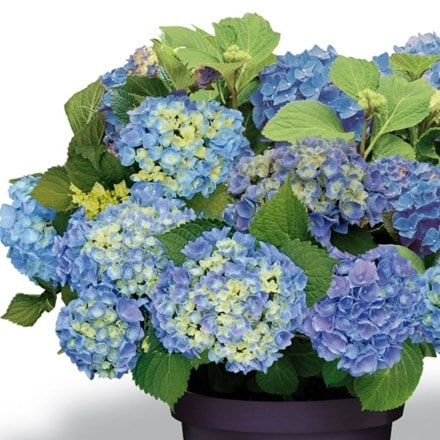 Hydrangea macrophylla Forever & Ever Blue