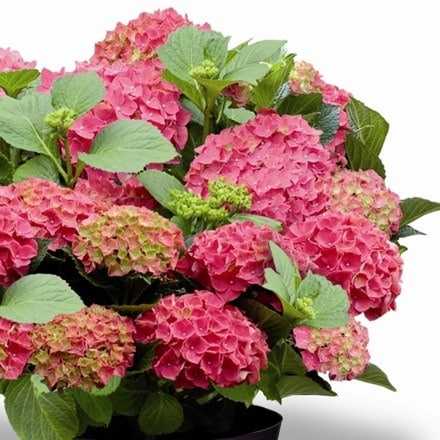 Hydrangea macrophylla Forever & Ever Red