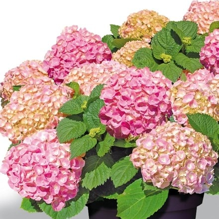 Hydrangea macrophylla Forever & Ever Pink