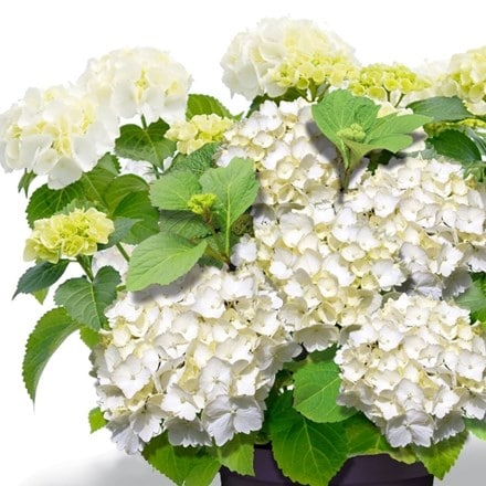 Hydrangea macrophylla Forever & Ever White