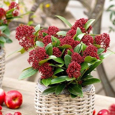 Skimmia japonica Red Dwarf ('Moerings 2') (pbr)