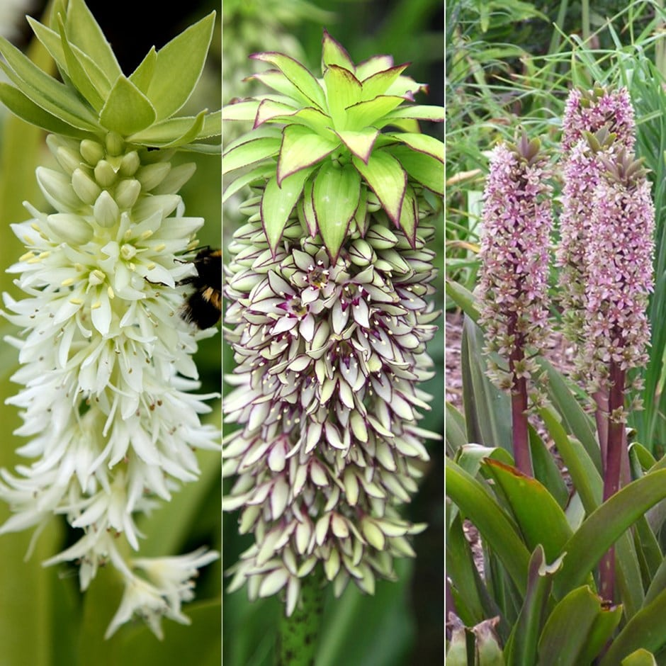 pineapple lily collection