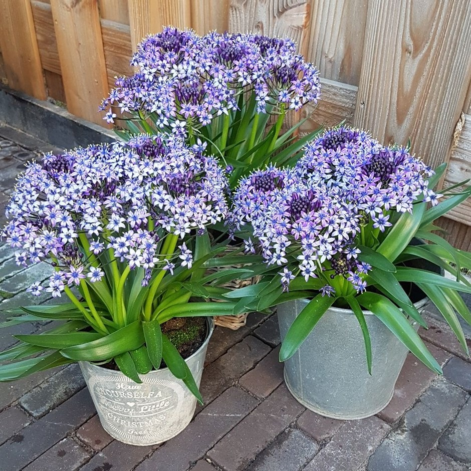 Portuguese squill bulbs