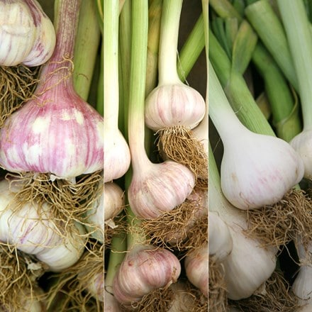Connoisseurs garlic collection for autumn planting