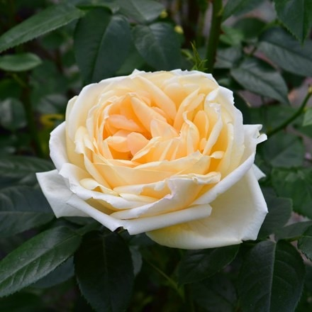 Rosa Countess of Wessex ('Beacream')