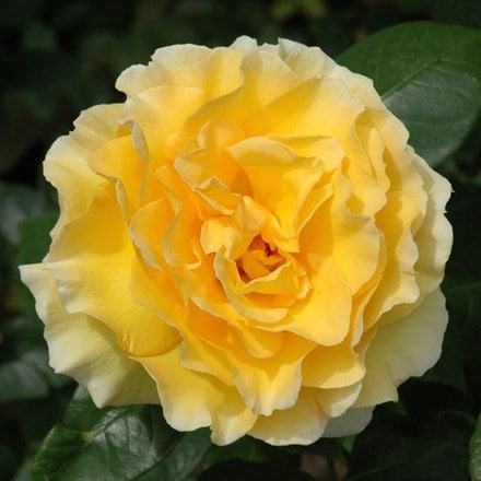Rosa Grosvenor House ('Horyellow')