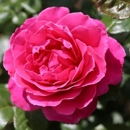 Rosa Sandringham ('Beamolly')