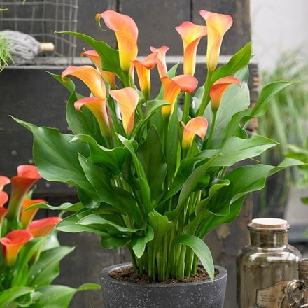 Zantedeschia Cancun (PBR)