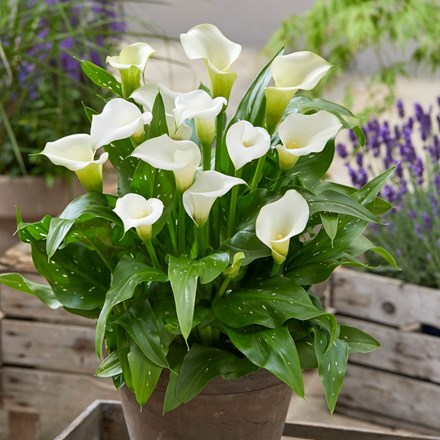 Zantedeschia Captain Kelso (PBR) (Captain Series)