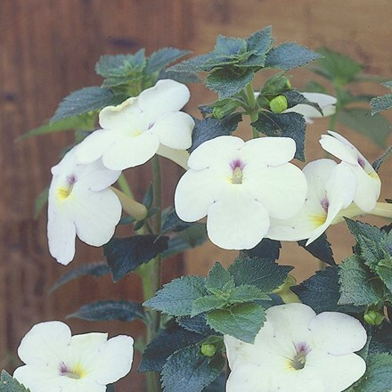 Achimenes Snow Princess