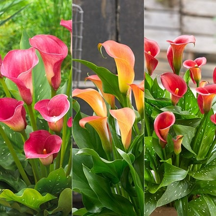 Sunrise Zantedeschia collection