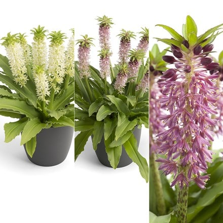 Award-winning Eucomis collection