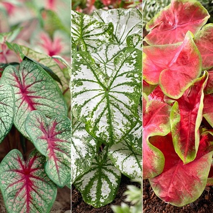Colourful Caladium collection