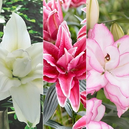 Roselily pollen free lily collection