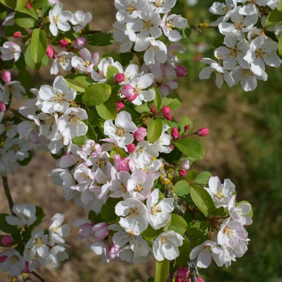 crab apple 'Professor Sprenger'